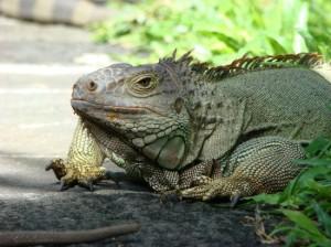 lizard pic